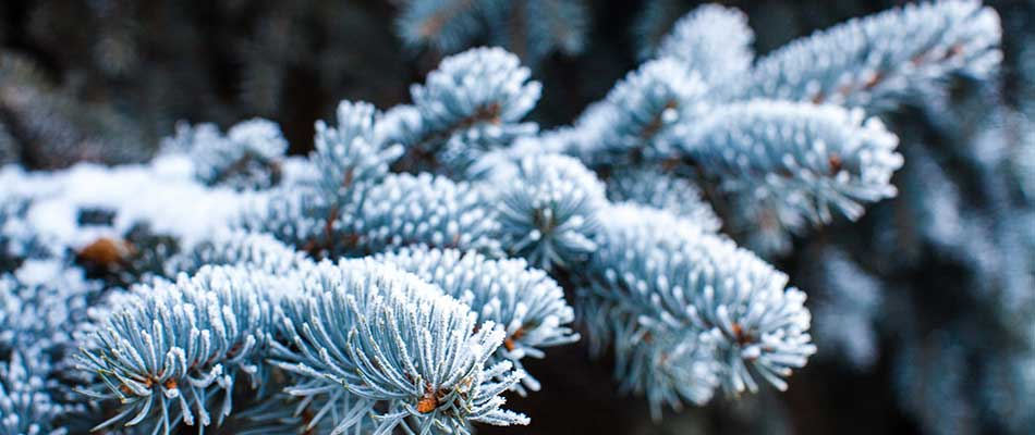 Blue spruce limbs and needles covered in snow and frost in Bristow, VA.