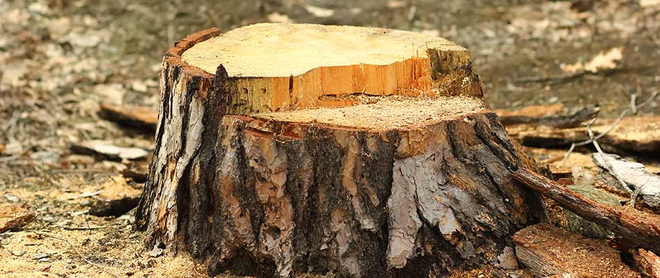 A close up photo of a tree stump ready for stump grinding in Haymarket, VA.